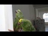 Пьяный дуэт попугаев. Умереть - не встать!